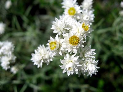 800px-Anaphalis_margaritacea_subsp._yedoensis_080905